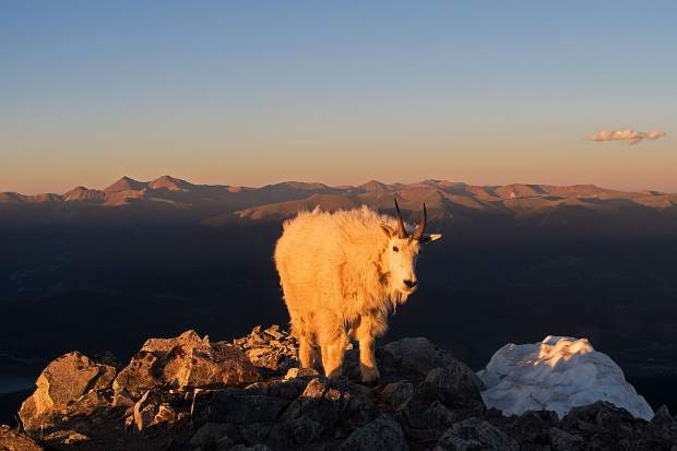 Before Justin Simoni was able to summit Peak One, the final major mountain on his traverse of the Mosquito and TenMile ranges from Trout Creek Pass near Buena Vista to Frisco, this mountain goat refused to give up the summit for a good 10 seconds or more at sundown.