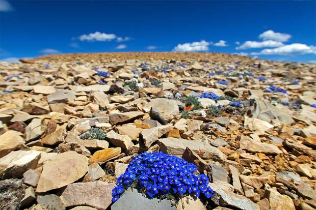 Justin Simoni encountered these blue wildflowers near Horseshoe Mountain while completing his thru-hike of the Mosquito and TenMile ranges from Trout Creek Pass near Buena Vista to Frisco's Main Street.