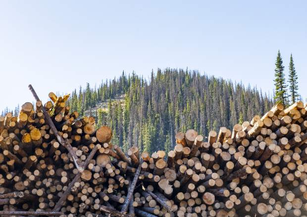 An estimate of 500 trees lay in a collection as they were cut down after being killed by spruce beetles on Wednesday, Sept. 26, 2018 in Monarch Mountain, Colo. (Dougal Brownlie/The Gazette via AP)