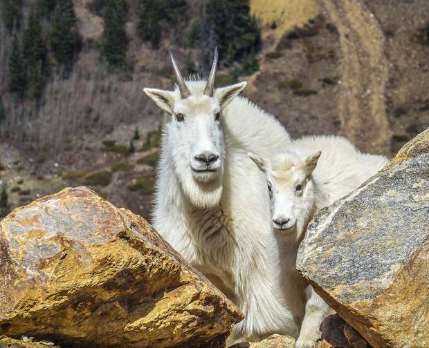 A mother and baby mountain goat in Peru Creek.