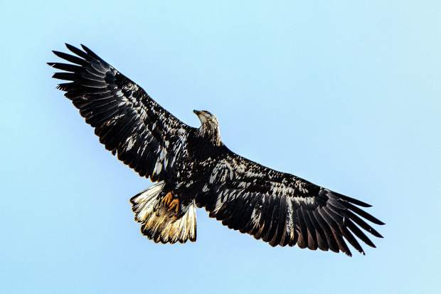 An immature Bald Eagle circling near Swan Mountain Road and the Blue River.