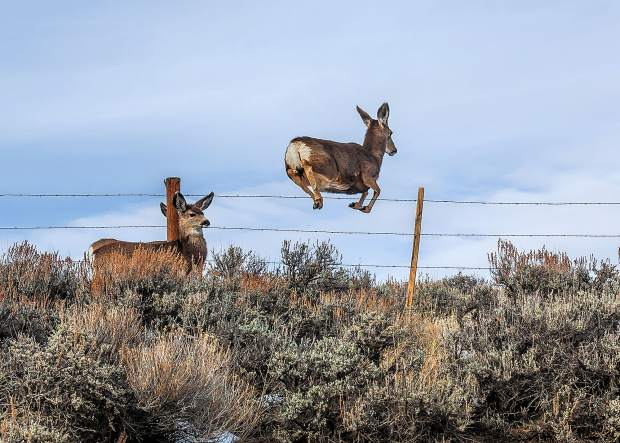 Mule Deer leaping over a barbwire fence in ranch land near Green Mountain Reservoir.
