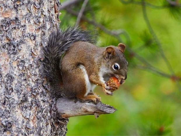 A squirrel fatting up ahead of winter.