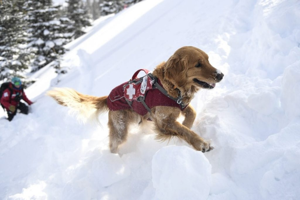 low priced 70182 f55eb A day in the life of a Colorado avalanche dog | SummitDaily.com