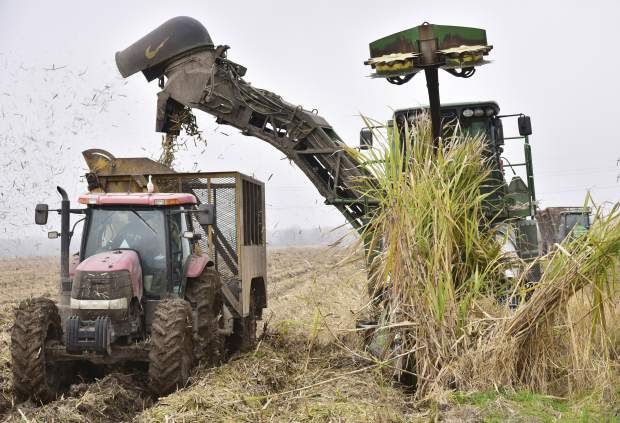 In this Jan. 18, 2019 photo provided by the LSU AgCenter, a harvester blows out chaff as it loads sugar cane into a cane cart on, the last day of harvest at property owned by the LASUCA mill in St. Martinville, La. Louisiana's sugar acreage is likely to rise again for at least the second year in a row. The 2018 crop covered 459,000 acres, up 19,000 from 2017, and LSU AgCenter specialist Kenneth Gravois says the successful harvest prompted increased planting of the tall tropical grass. (Bruce Schultz/LSU AgCenter via AP)