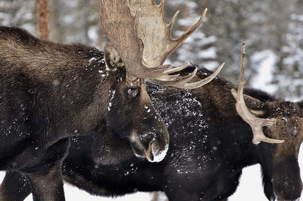 Bull moose in Highlands neighborhood in Breckenridge.