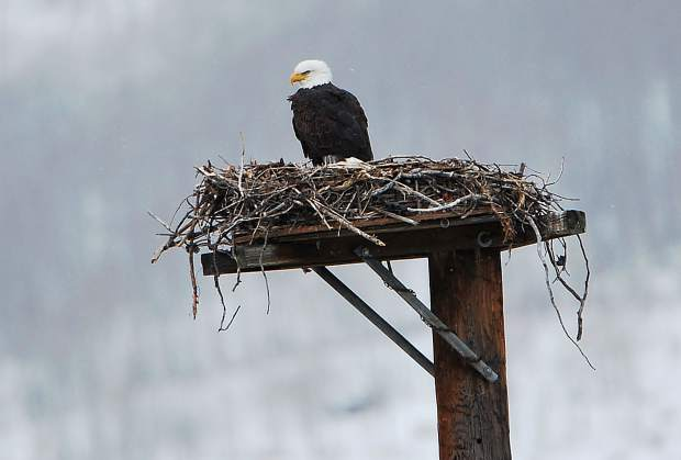 A bald eagle on an familiar osprey nest on Sunday afternoon north of Silverthorne.