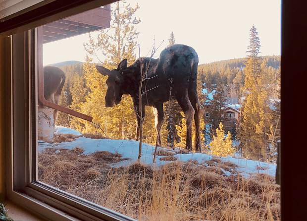 Window view of passing moose.