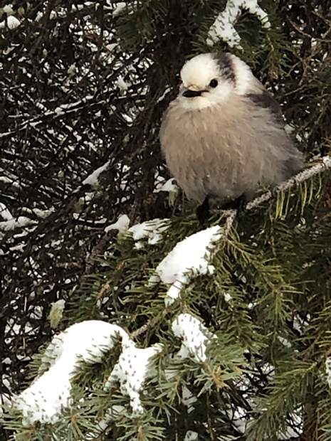 This Grey Jay followed us on Spruce Creek Trail on February 13.