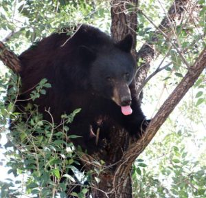 Breckenridge warns people to keep trash from black bears coming out of hibernation