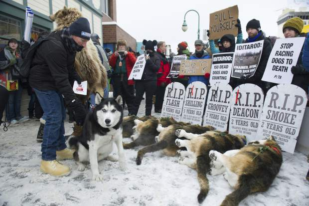 Anchorage resident Terry Fischer, with his Alaskan Husky Litho, happens into the People For the Ethical Treatment of Animals (PETA) protest prior to the ceremonial start of the Iditarod Trail Sled Dog Race in Anchorage, Alaska. The world's foremost sled dog race kicks off its 47th running this weekend on Saturday.
