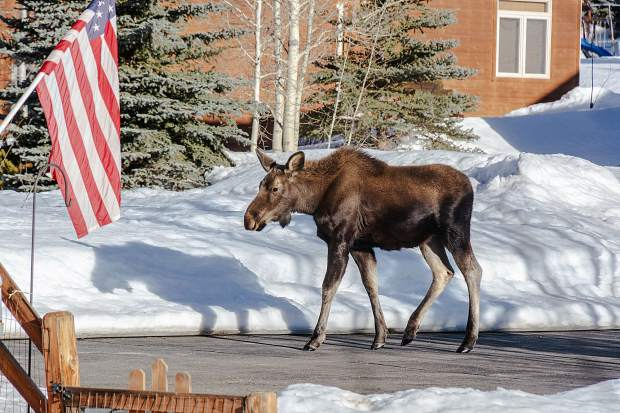 A patriotic moose approaches the flag.