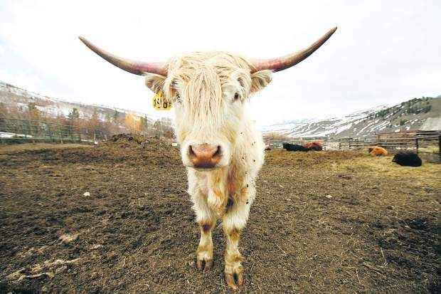 A Scottish Highland cow looks at the camera with curiosity at the Maryland Creek Ranch Thursday, April 18, near Silverthorne.