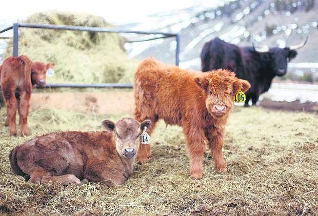 A Scottish Highland calves relax at the Maryland Creek Ranch Thursday, April 18, near Silverthorne.