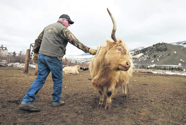 Leonard Causland brushes a Scottish Highlands cow at the Maryland Creek Ranch Thursday, April 18, near Silverthorne.
