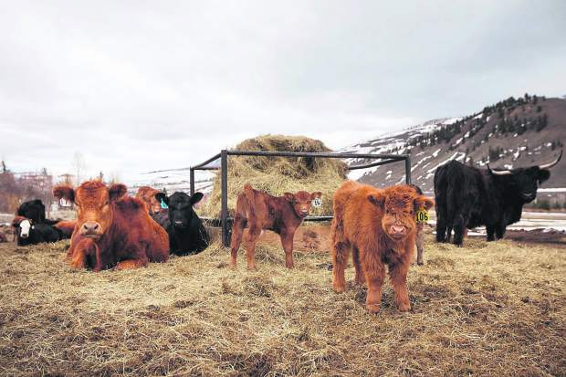 A Scottish Highland calves and mothers relax at the Maryland Creek Ranch Thursday, April 18, near Silverthorne.