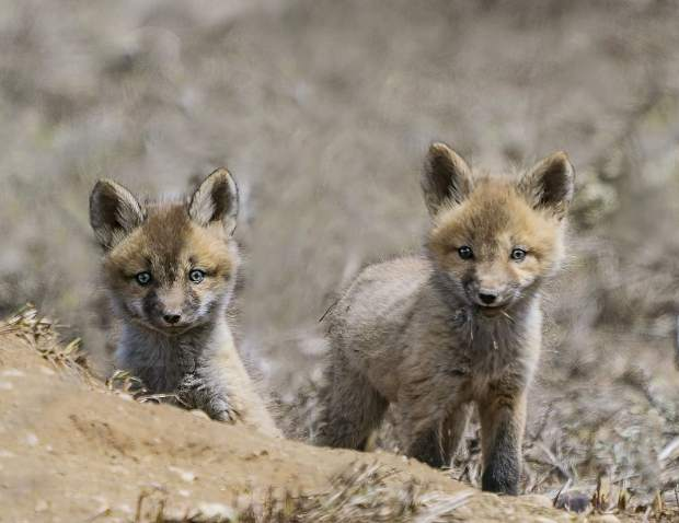 Red fox kits have emerged from their dens after the snow has melted.