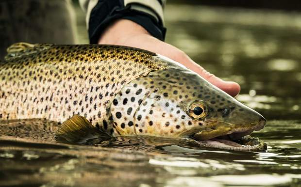 The reward: a brown trout at the end of the line.