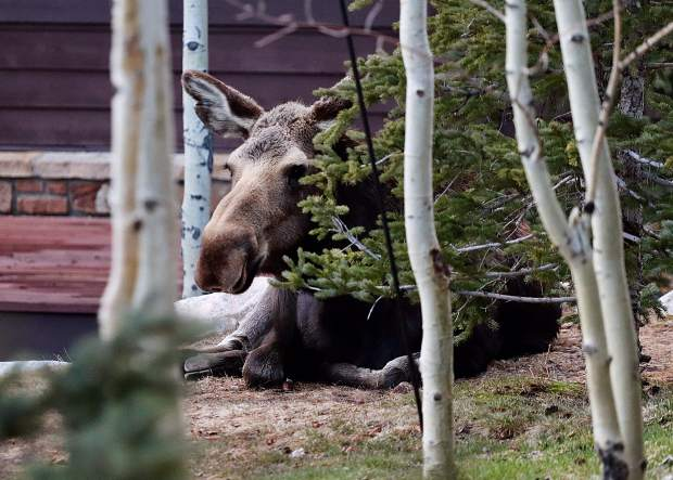 Moose relaxing on a flower bed.