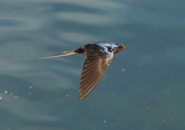 A Barn Swallows chasing insects on a pond surface.