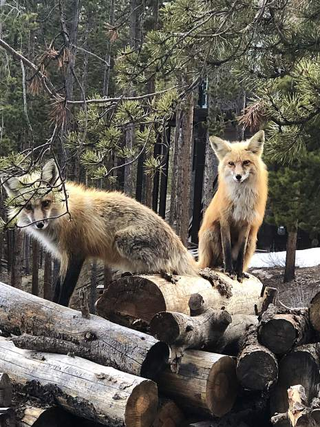 Foxes on lumber.