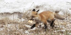 Reader photos: Out foxed