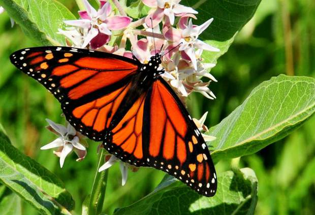 A monarch butterfly in Rocky Flats National Wildlife Refuge.