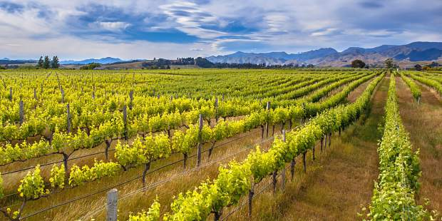 "The New Zealand wine industry was built in the 1980's on the back of the sauvignon blanc grape. New Zealand ""Savvy"" is on of he most popular summer wines in the world."