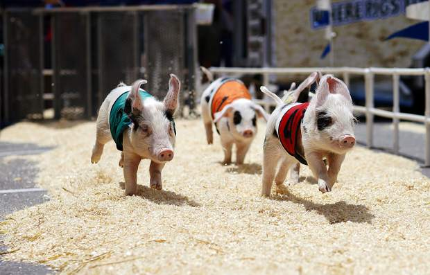 All-Alaskan Racing Pigs sprint around the track during teh 26th Annual Frisco BBQ Challenge Saturday June 15, on Main Street in Frisco.