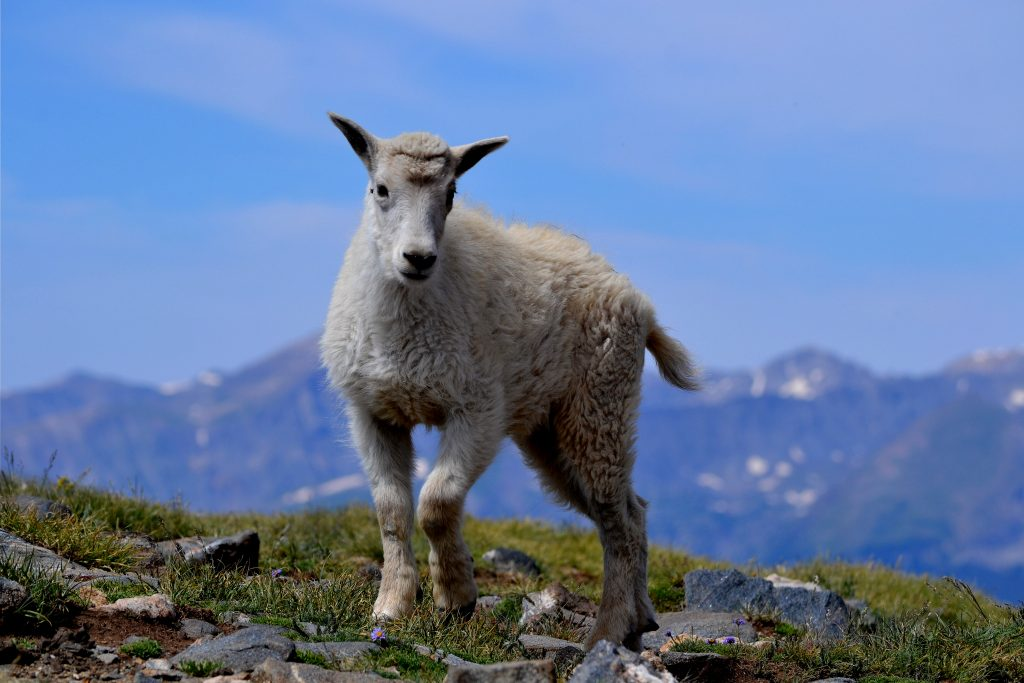 Views of mountain goats are common during Dillon Community Church Jeep Club trips.