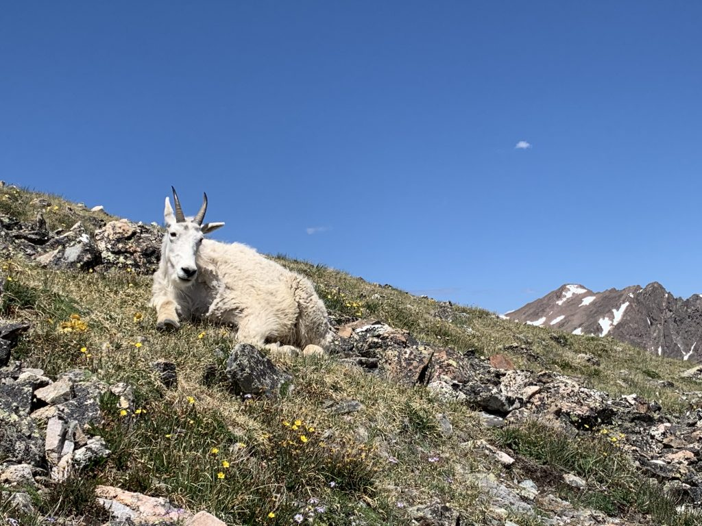A mountain goat takes a mid-day rest amid high-alpine wildflowers on July 9, 2020, Red Peak in view at right.